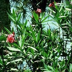 Nerium oleander - a xeromorphic plant