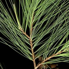 Fascicles with 5 to 7 leaves of white pine
