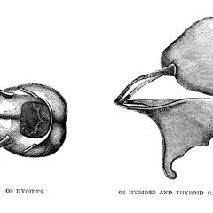 Os Hyoides and Os Hyoides and Thyroid Cartilage