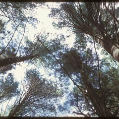 Looking up at tall pines in Gullickson's Glen, State Natural Area