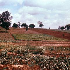 Kikuyu Small Farm Holding
