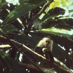 Cebus capucinus