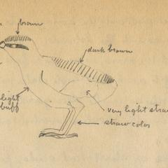 Pencil drawing (by AL) of fledgling partridge, journal entry from Quetico trip, June 17, 1924