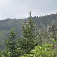 Abies fraseri trees at Clingman's Dome, Tennessee