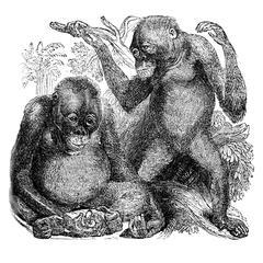 Young Orang-Outan (Satyrus)