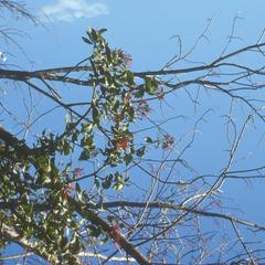 Parasitic Loranthaceae in flower, north of El Progreso
