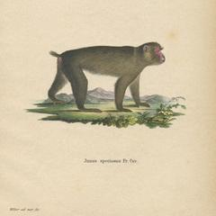Walking Japanese Macaque Print