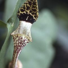 Aristolochia, north of Casimiro Castillo
