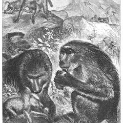 Baboons, Or Dog-Headed Monkeys
