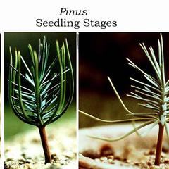Germinating pine seedlings - composite of different stages