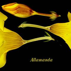 Dissected flower of Allamanda cathartica