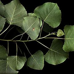 Leafy branch of cottonwood