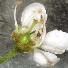 Dissected flower of black cherry