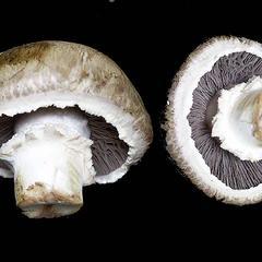 Agaricus mushroom - two views