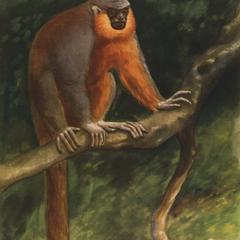 Callicebus remulus