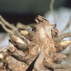 Zea diploperennis root system, close-up