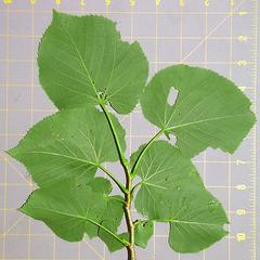 Underside of leafy bough of Tilia americana
