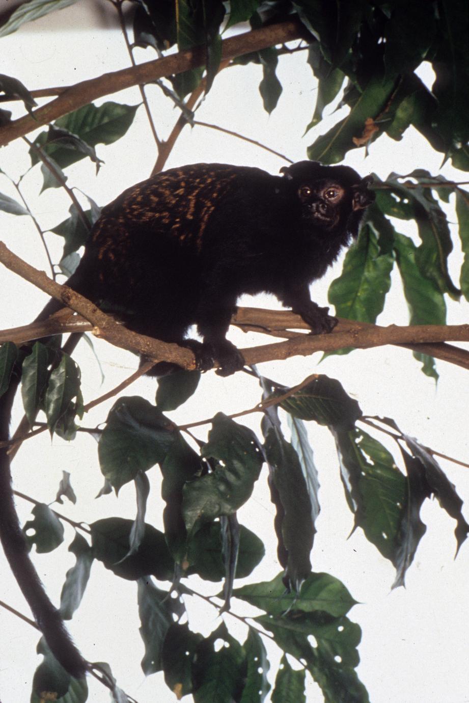Saguinus niger