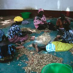 Decorticating Seed Groundnuts (Peanuts)