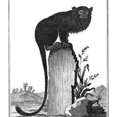 Le Tamarin negre (Black tamarin)