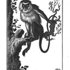 La Mone (Mona monkey)