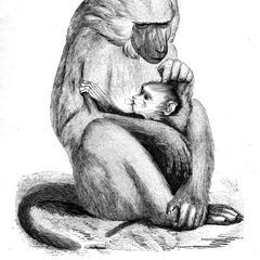 Papion femelle et son petit né au Jardin-des-Plantes