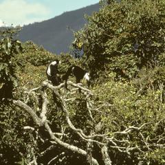 Colobus angolensis