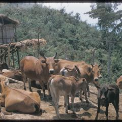 Hmong (Meo) cattle