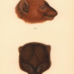 Lemur rubriventer