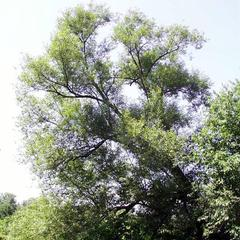 Tree of Salix nigra