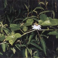 Running Pop or Passion Flower (Passiflora foetida)