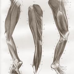 Muscles des Extrémitrés Postérieures