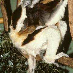 Propithecus coquereli