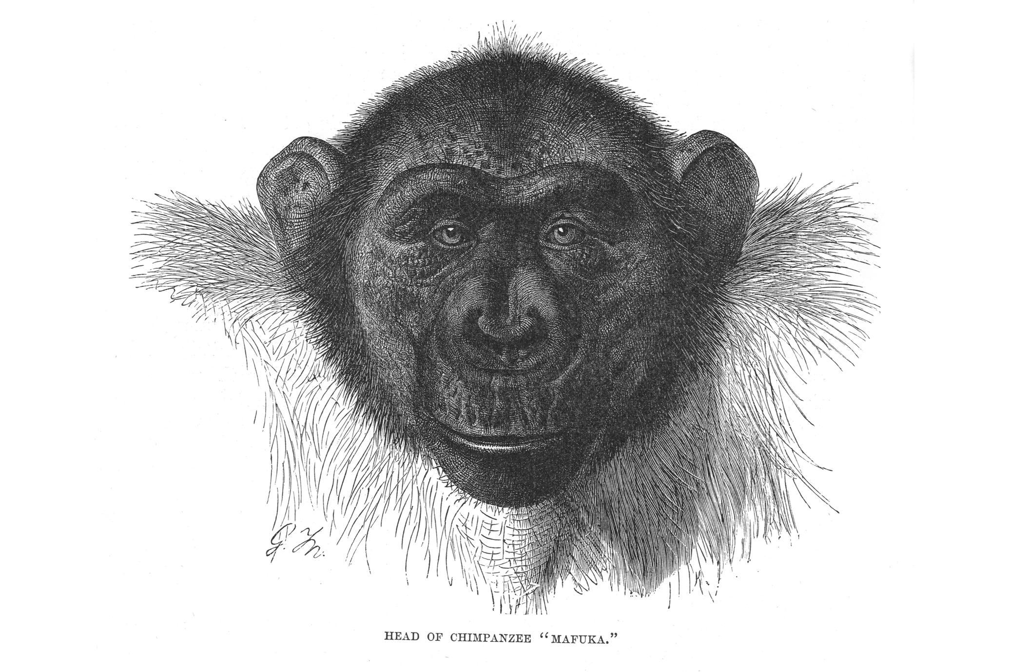 """Head of Chimpanzee """"Mafuka."""""""