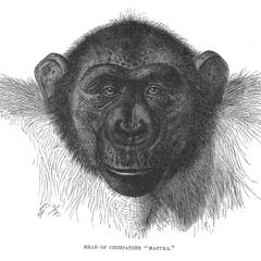 "Head of Chimpanzee ""Mafuka."""