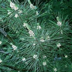 Branches with clusters of male cones in the spring condition of white pine