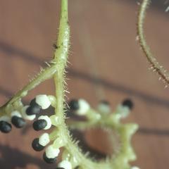 Ripe fruits of Podandrogyne #53, east of Patricia Pilar