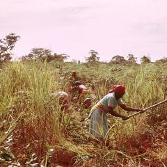 Women Working in Fields Near Kawambwa