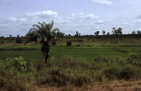 Rice fields near Ontisha
