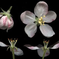 Dissected flowers of Malus domestica