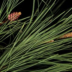 Red pine boughs one with a cluster of male cones and the other with a solitary female cone at time of pollination
