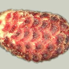 Microsporangiate cone of red pine