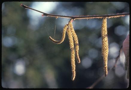 Hazelnut catkins with spiderweb