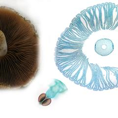 Composite of gilled mushrooms with a basidium