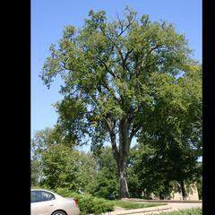 Tree of Ulmus americana