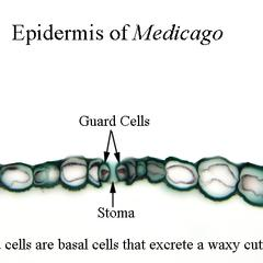 Epidermis of Medicago Stem