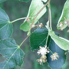 Flowers of Tilia cordata