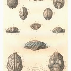 1-Propithecus edwardsii; 2-Avahis; 3, 4-Indris