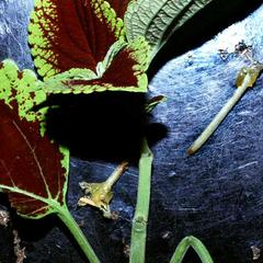 Petiole abscission in Coleus petioles treated with lanolin only have recently fallen off
