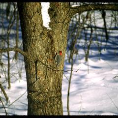 Red bellied woodpecker on tree trunk in winter